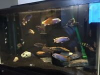 African cichlids priced to sell
