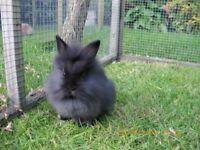 Pure lion head rabbit very friendly
