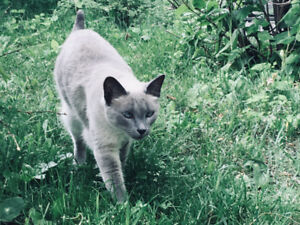 Chat femele siamoise perdue 22 septembre 2018, Sillery