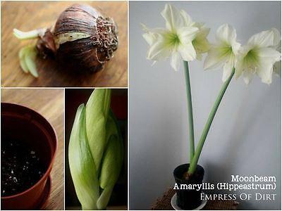 Ammaryllis/Hippeastrum blühen innerhalb in fünf bis zehn Wochen.
