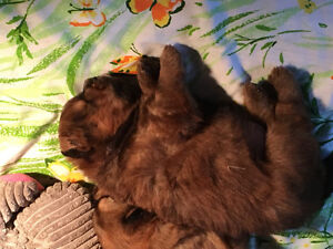 CHOW CHOW Puppies for SALE London Ontario image 1