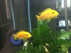 BRIGHT YELLOW LABS AFRICAN CICHLID BABIES FOR SALE 2 for $10