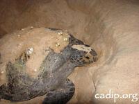 Marine Turtle Conservation in Rincon de Guayabitos, Mexico
