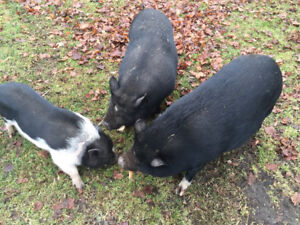 2 females 1 male friendly pot belly pigs