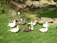 Call Ducks for sale