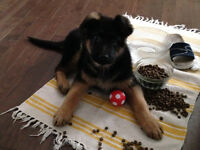 Purebred German shepherd puppy-male