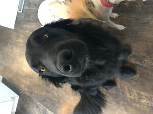 Boarder collie/ golden retriever mix - sweetest, most loyal pup