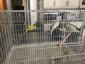 Birds budgies for sale
