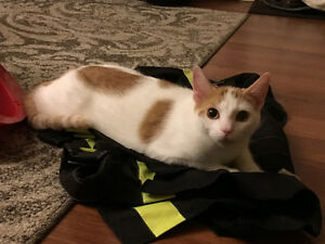 Free to a good home – 2 Male Cats – brothers/littermates Kitchener / Waterloo Kitchener Area image 2