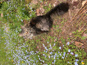Lost cat East Uniacke Road