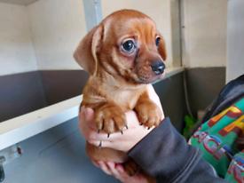 Stunning little Dachshund x Chihuahua Puppy