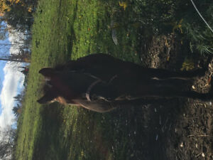 2/3 year old pony gelding