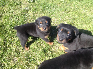 Chiots Rottweiler pure race , puppy's pure bread