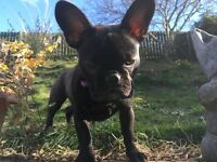 Now SOLD 7 Month old French Bulldog Puppy K.C registration complete