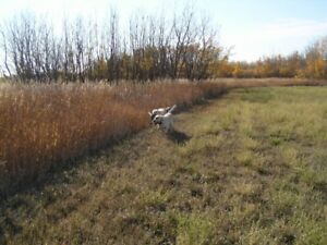 pheasants  for sale/ hunting grounds and trap shooting