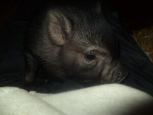 Cute baby pot belly pigs 5 girls and 2 boys Kitchener / Waterloo Kitchener Area image 4