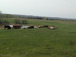 For sale cow calf pairs
