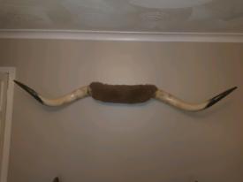 American bull horns