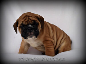 Top Quality Reg'd CH English and French Bulldog Pups London Ontario image 4