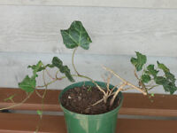 POTTED HARDY EVERGREEN PERENNIAL...ENGLISH IVY