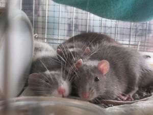 Wanted two healthy male rats preferably grey