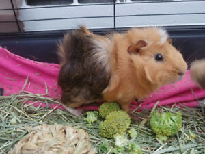 1 year old Guinea pigs (2 male)
