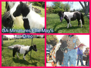 Looking for Two Miniature Mares Sold To the Belleville Area