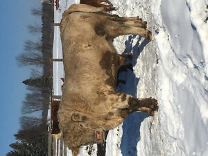 3 years old Charolais bull