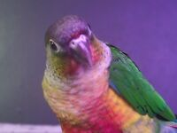 Stunning!  Turquoise and Yellow Sided Conure Chicks