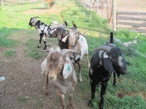 Billie Goats for Sale