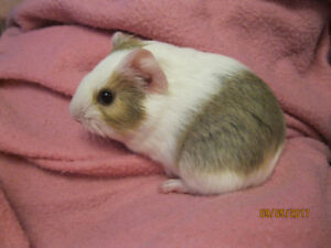 Very cuddly, almost 4 week old male Guinea pig in Airdrie