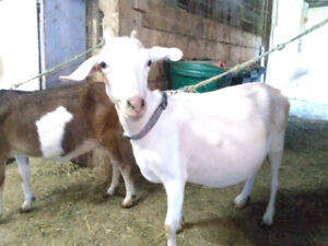Goats--Nannies for Sale