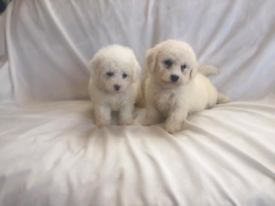 Cockapoo F1B Puppies