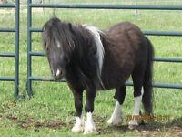 Miniature Stallion, black with a little white