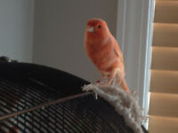 Gorgeous 1 year old female canary
