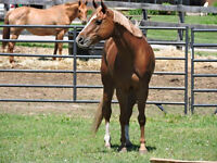 Our Lady Peace - AQHA Mare - for PART BOARD or SALE