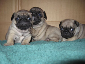 PUG BABIES    -----  ALL SOLD ------
