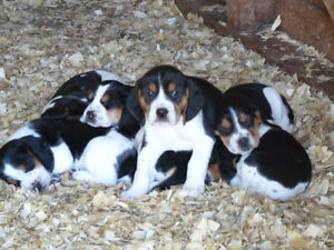 Rabbit hound pups