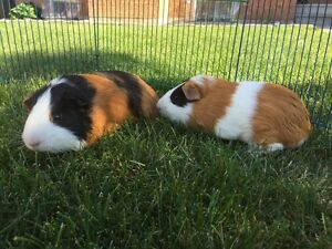 Cute Guinea Pig Brothers