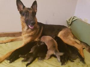 German Shepard Husky  X puppies.