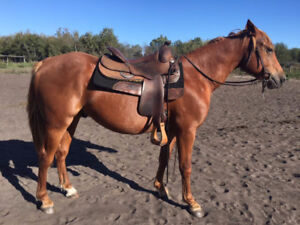 2 yr old AQHA Gelding started under saddle and riding well