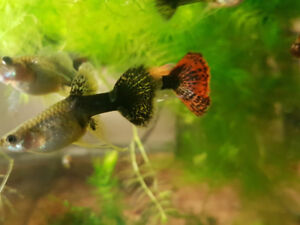 Dragon Mosaic Guppies for sale !