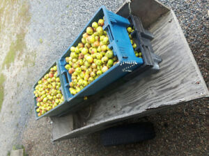 Deer Apples - $10 per 100lb fish box full