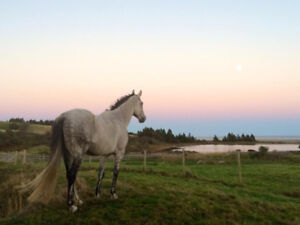 TB/Hanoverian Cross Gelding