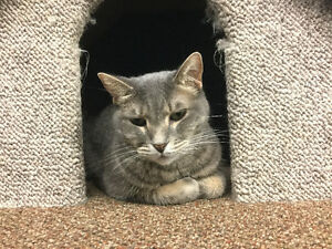 "Adult female cat - grey tabby ""EMILY"""