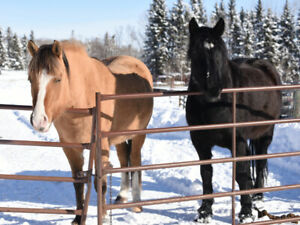 registered Canadian mare, fjord/arab cross mare for sale