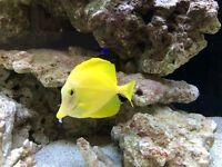 Beautiful Yellow Tang about 3-3.5 inches