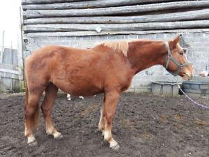 3 yr old Belgian TB cross mare