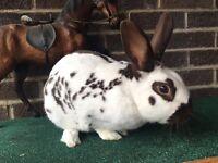 Old English Male Rabbit + Hutch etc