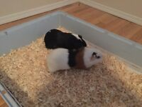 Guinea Pigs for free to Good home